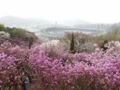 부천시, 원미산·도당산·춘덕산 봄꽃 축제 풍성