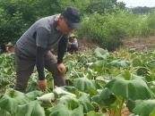 머위 농사로 '건강과 창업 성공' 제2의 전성기를 찾다