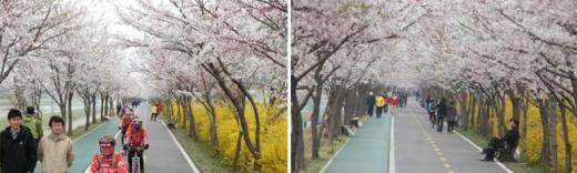 '벚꽃 따라 자전거도 피네' 서울시, 벚꽃 자전거코스 5곳 공개