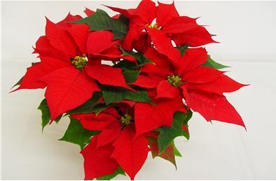 12월의 꽃 '포인세티아'...꽃말은 축복, 축하