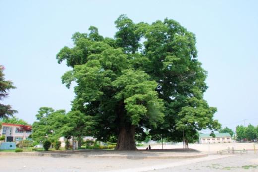 ▲천연기념물 제284호 대치리 느티나무(사진출처 = 문화재청)