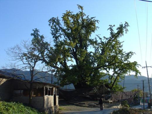 ▲천연기념물 제482호 봉안리 은행나무(사진출처 = 문화재청)