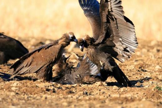독수리, 썩은 고기 먹어도 탈 안나는 이유는?