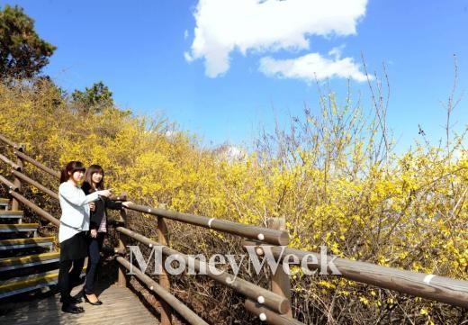 (서울=뉴스1) 최진석 인턴기자 = 2012년 4월 5일 서울 성동구 응봉산 등산로에 활짝 핀 개나리
