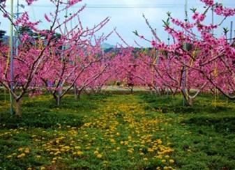 봄꽃과 함께하는 농촌체험·휴양마을 ④ 양평 가루매 마을·강릉 복사꽃 마을