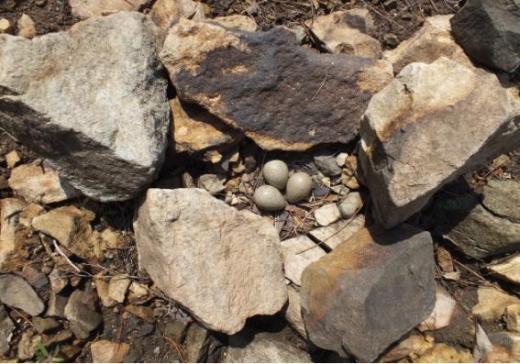 멸종위기야생생물2급 '흰목물떼새', 무등산에서 번식 확인