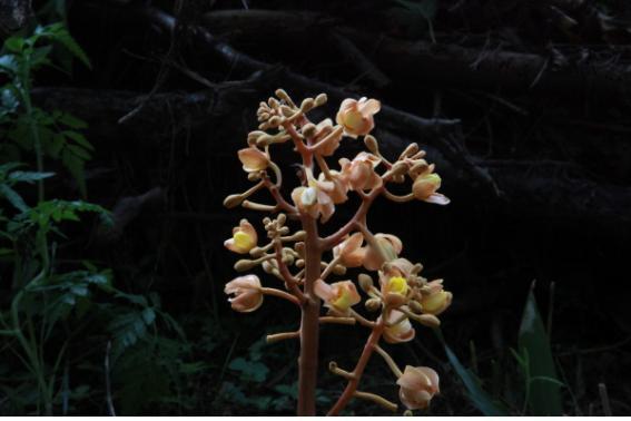 멸종위기 야생생물2급 '으름난초' 활짝…무등산 국립공원