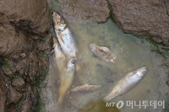 8일 벽계천 곳곳에는 지난 사흘 간의 수거작업에도 치어서부터 성어에 이르기까지 폐사한 물고기가 곳곳에 있었다./사진=박정웅 기자