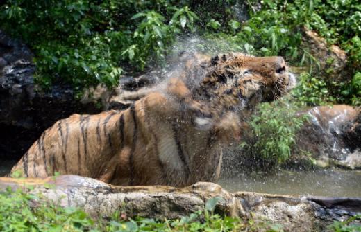 용인 에버랜드 동물원의 호랑이가 물웅덩이에 몸을 담그며 더위를 식히고 있다. /자료사진=뉴스1