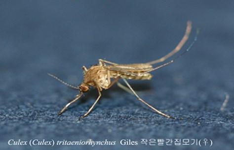▲부산지역에 일본뇌염모기가 증가하면서 전국에 일본뇌염경보가 발령되었다. 사진은  일본뇌염 매개모기인 작은빨간집모기 암컷