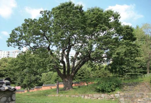 ▲조광조가 직접 심었다 전해지는 느티나무