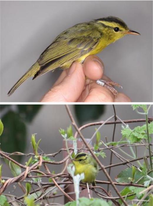 국내 미기록종 철새 '노랑배솔새' 흑산도에서 발견