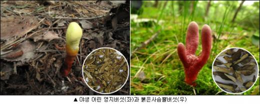붉은사슴뿔버섯 주의보, 독버섯 가져가야 정확한 치료에 도움
