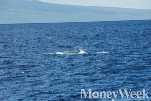 ▲하와이 마우이섬 부근에서 볼 수 있는 혹등고래. 2~3월이 관찰하기 가장 좋은 시기로 알려져 있다