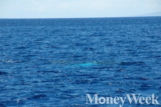 ▲마우이에서 볼수 있는 혹등고래