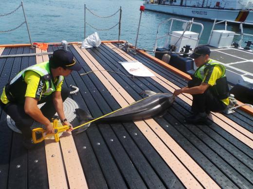 여수 해상서 멸종위기종 '상괭이' 1마리 죽은 채 발견