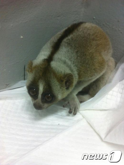 부산 도심 주택가에서 지난 2일 국제적 멸종 위기 1종으로 지정된 '늘보원숭이'가 발견됐다. /사진=뉴스1DB(낙동강관리본부 제공)