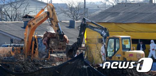 '구제역 의심신고' 구제역 양성 확진 판정을 받은 전북 김제시 용지면의 한 돼지 농가에서 지난 12일 방역 관계자들이 양성반응을 보인 돼지를 살처분 하고 있다. /사진=뉴스1
