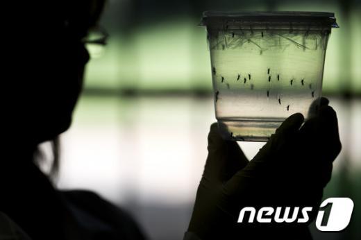 소두증을 유발하는 '지카 바이러스'의 감염매개체인 이집트숲모기. /사진=뉴스1(AFP 제공)