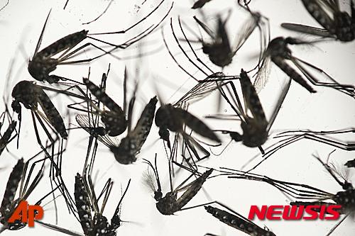 브라질 헤시페에 있는 피오크루스연구소에서 지난 27일(현지시간) 소두증을 일으키는 지카 바이러스를 옮기는 이집트 숲 모기들이 배양접시 안에 담겨 있다. /자료사진=뉴시스(AP 제공)
