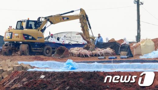 '구제역 의심신고' 지난달 15일 구제역 양성 확진 판정을 받은 전북 고창군의 한 농가에서 방역 관계자들이 돼지 살처분을 하고 있다. /자료사진=뉴스1