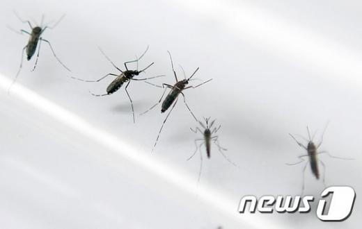 지카 바이러스 매개체인 이집트 숲 모기. /자료사진=뉴스1