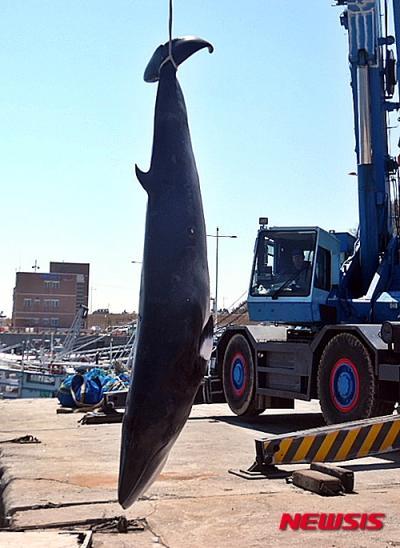 19일 군산 앞바다서 혼획된 밍크고래. /사진=뉴시스(군산해경 제공)