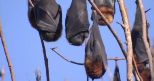 호주 도시에 박쥐 10만마리가 날아들어 피해를 입고 있다. /사진=스카이뉴스 캡처