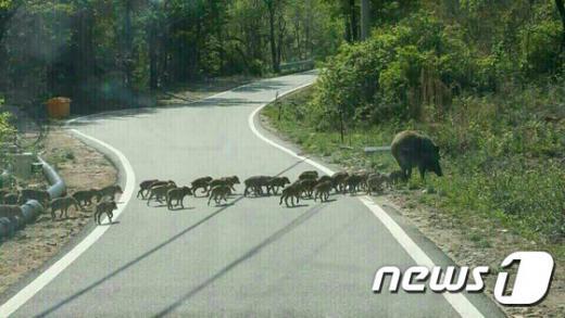 멧돼지. 멧돼지가 40∼50여마리의 새끼와 함께 이동하는 모습. /사진=뉴스1(조남명씨 제공)