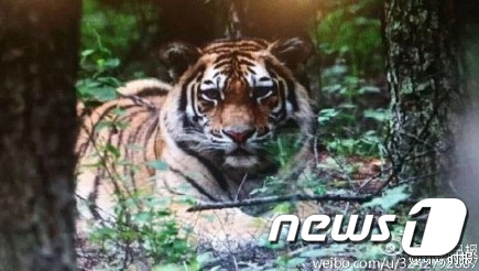 백두산 호랑이. /사진=뉴스1(중국 웨이보 제공)