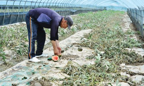 지난달 5일 내린 집중호우로 수해를 입은 수박농가에서 농부가 흙탕물에 잠겨 말라 비틀어진 수박줄기를 뽑아내고 있다. /사진=뉴시스 강종민 기자
