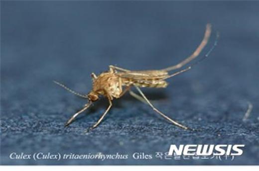 일본뇌염을 일으키는 작은빨간집모기. /자료사진=뉴시스