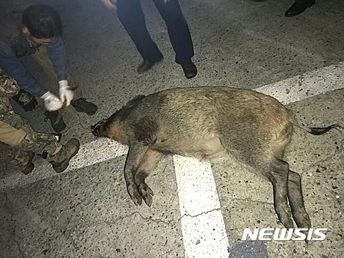 지난 5일 대구에서 멧돼지가 사살된 가운데 지난달 31일 저녁 8시48분쯤에도 부산 중구 중앙동 2부두 주변 도로에서 멧돼지 1마리가 출몰해 사살된 바 있다. /자료사진=뉴시스 DB
