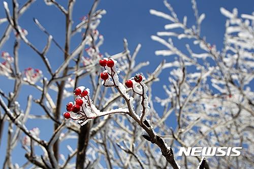 한라산 눈 상고대. 지난 1일 한라산에 첫 눈이 내려 서리가 얼어붙은 상고대가 나무에 피어났다. /자료사진=뉴시스