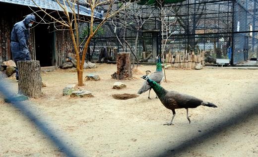 지난해 말 전주동물원에서 방역담당자가 공작새 사육장을 방역하고 있는 모습. /사진=뉴스1