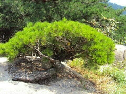 아차산 소나무. /사진=서울 광진경찰서 제공