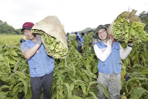 KT&G 임직원들이 잎담배 농가 일손을 돕고 있다. /사진=KT&G