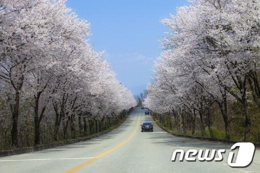 ▲ 여주시 흥천면 벚꽃길 모습. / 사진=뉴스1
