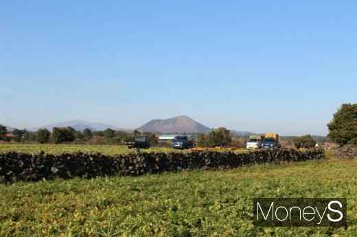 지난 8일 무 수확이 한창인 종달리 들판. 가운데 산은 다랑쉬오름(월랑봉)이다. 멀리 정상에 흰눈이 쌓인 한라산이 보인다. /사진=박정웅 기자