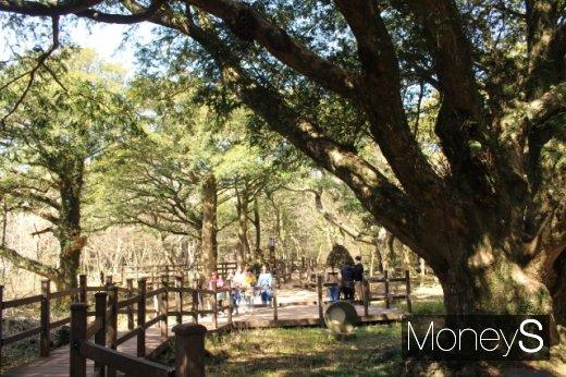 비자림의 새천년 비자나무와 탐방객들. /사진=박정웅 기자