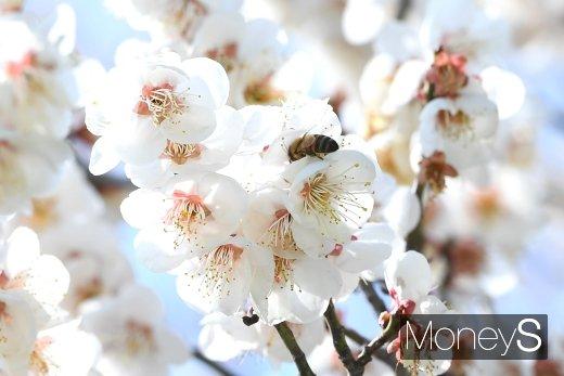 [머니S포토] 봄을 알리는 매화