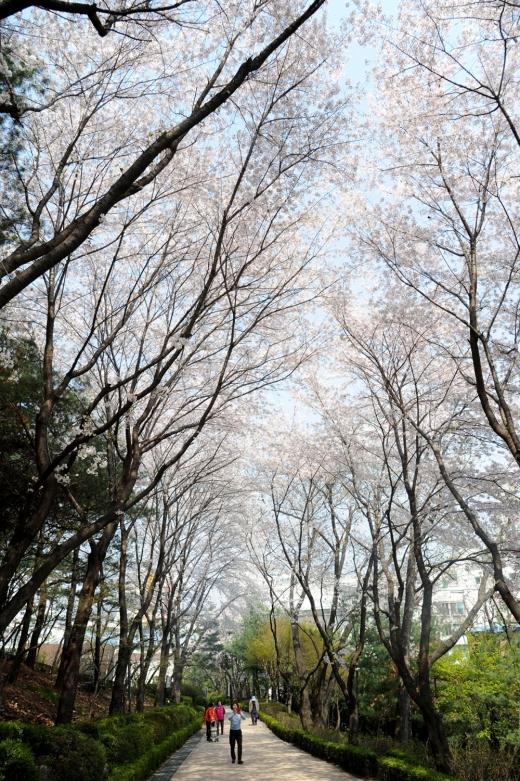 오는 13일 벌터산 축제가 개최되는 성남 벚꽃길 8경 수진공원 진입로. / 사진제공=성남시