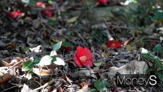선운산 동백꽃. 땅에 떨어져 또한번 검붉게 핀다. /사진=박성기 여행 칼럼니스트