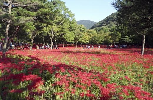 불갑산을 붉게 물들인 상사화. /사진=뉴스1