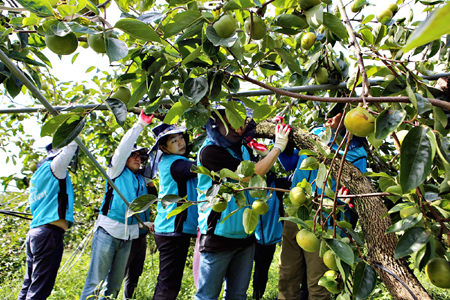 25일 전남 영암의 한 감나무 농가 태풍피해 복구에 구슬땀을 흘리고 있는 농어촌공사 직원들 /사진제공=농어촌공사