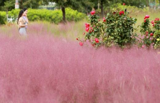 서울 서초구 잠원한강공원 그라스정원을 찾은 시민들이 활짝 핀 핑크뮬리 등을 감상하며 가을 정취를 만끽하고 있다. / 사진=머니투데이DB