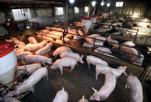 수도권의 한 돼지농장. 사진은 기사 내용과 무관함. /사진=뉴시스 DB