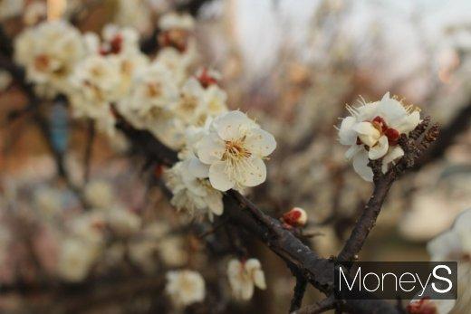 지난달 22일 전남 광양시 매화마을에 하얀 매화꽃이 폈다. 광양시가 이 일대에서 개최하기로 한 매화꽃축제는 코로나19 확산으로 취소됐다. /사진=박정웅 기자