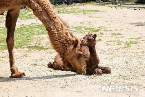 서울대공원은 지난달 8일 태어난 생후 한 달된 아기낙타의 모습을 유튜브 '서울대공원tv'를 통해 볼 수 있다고 지난 8일 밝혔다. /사진=뉴시스(서울시 제공)