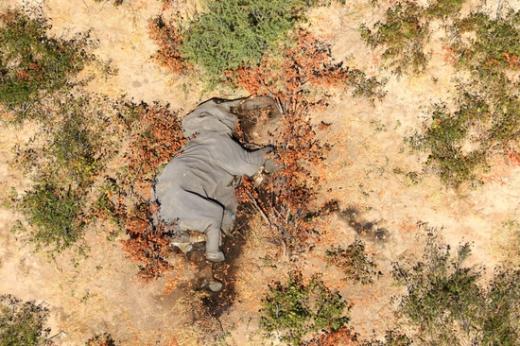 아프리카 보츠와나 오카방고강 상류 지역에서 한 코끼리가 죽은 채 쓰러져 있다. /사진=로이터